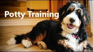 How To Potty Train A Bernedoodle Puppy - Bernedoodle House Training Tips - Bernedoodle Puppies