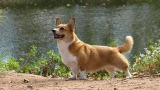 Welsh Pembroke Corgi With A Tail