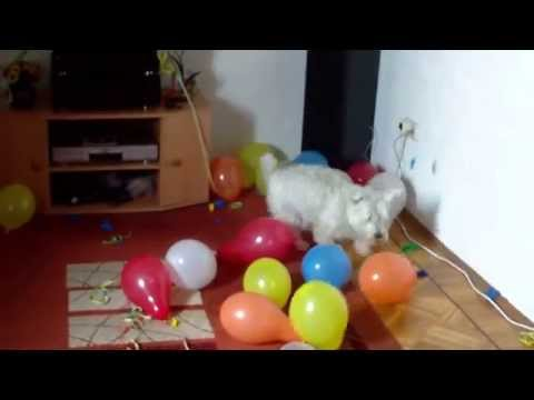 Funny Dog Jack Russel- Gina lässt Luftballons platzen
