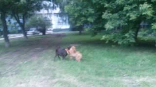 щенок Чау-Чау и взрослый Лабрадор играют