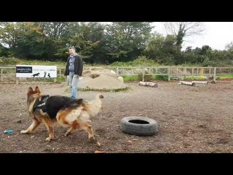 German Shepherd Dog training. Dog training. Positive dog training. Service dog.