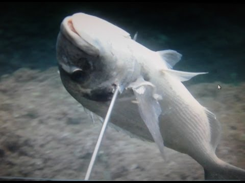 Pesca submarina desde superficie, 0 metros- 2ª parte JM-QJ/ spearfishing from surface 2