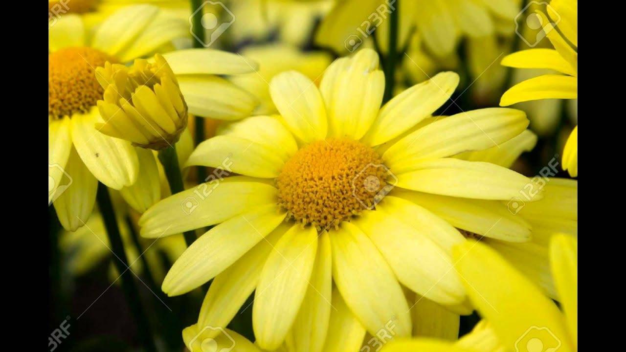 арника растение фото