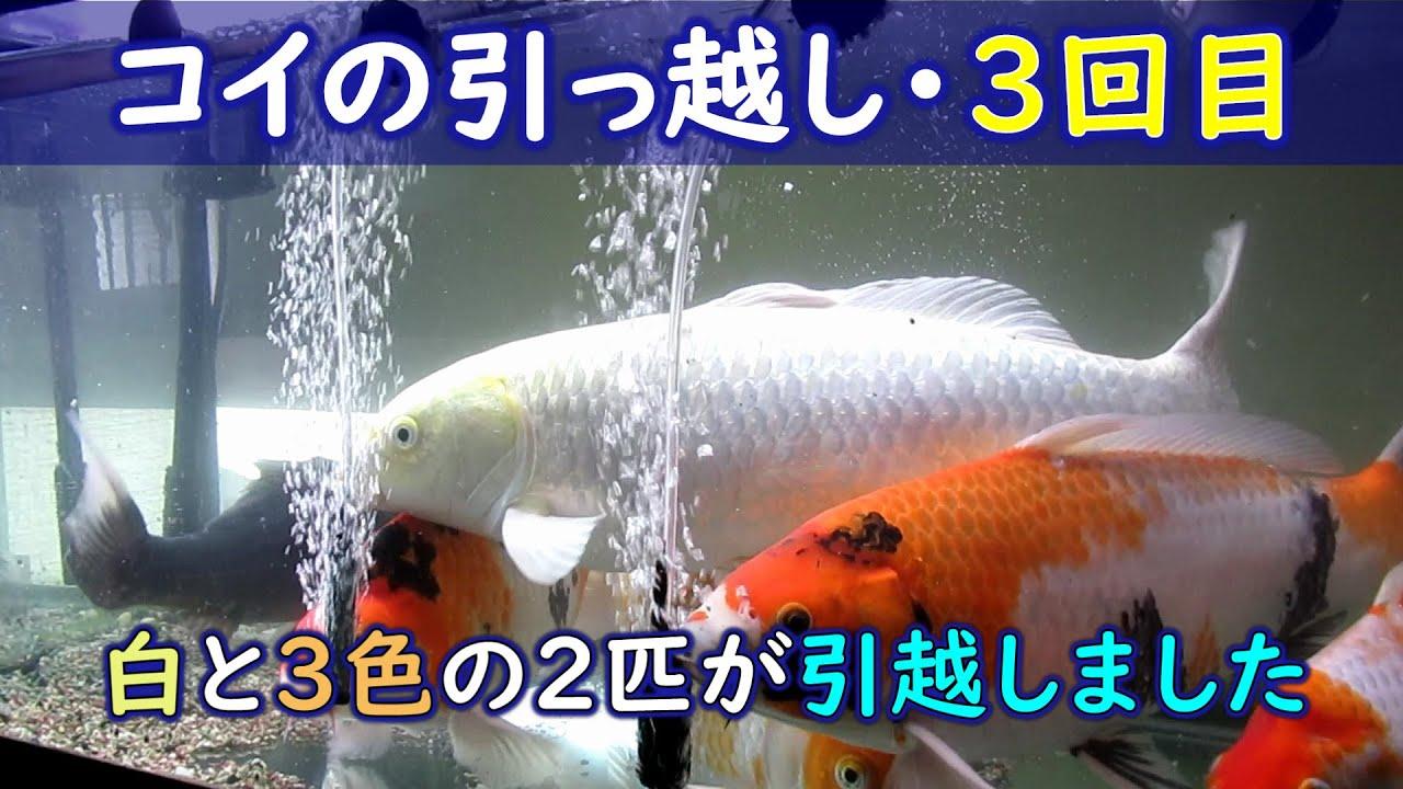 自宅水槽コイのお引越し3回目 2020/6/26