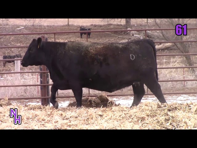 New Haven Angus Lot 61
