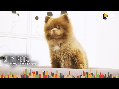 Little Dog Loves Hanging Out At Mom's Art Gallery | The Dodo City Pets