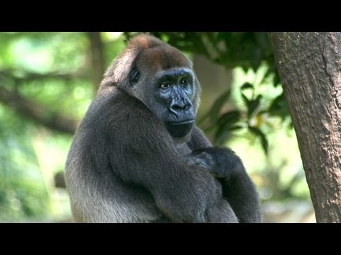 Cross River Gorillas, Endangered, Caught on Camera
