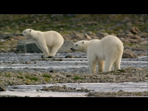Polar Bears Try to Catch Salmon