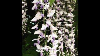 O milinie i wisterii, sadzonki, przycinanie NATUR