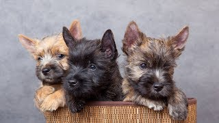 Cairn Terrier 2018 Dogs Review & Photos | Cute Pets Review