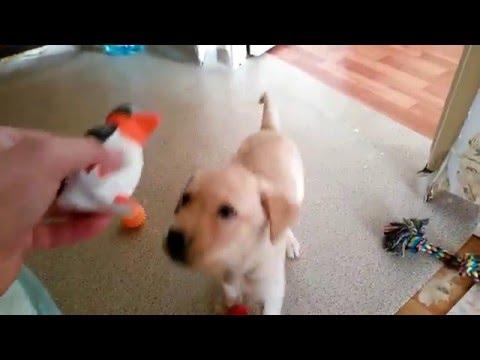 Вопрос: Чем кормить лабрадора (щенка 1,2-3 месяца)?