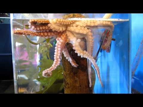 Octopus at the Ty Warner Sea Center