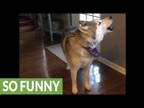 Vocal husky loudly argues that it's walk time