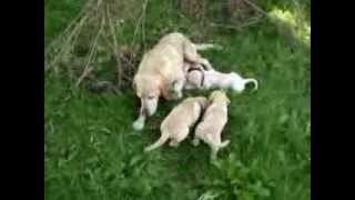 7 Week Old Yellow Labrador Retriever Puppies Chewing Sticks