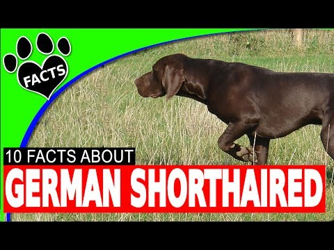 Dogs 101: German Shorthaired Pointer The Perfect Hunting Dog - Animal Facts