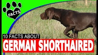 German Shorthaired Pointer Dogs 101 The Perfect Hunting Dog