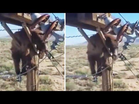 Bear-Gets-Stuck-Atop-Electricity-Pole