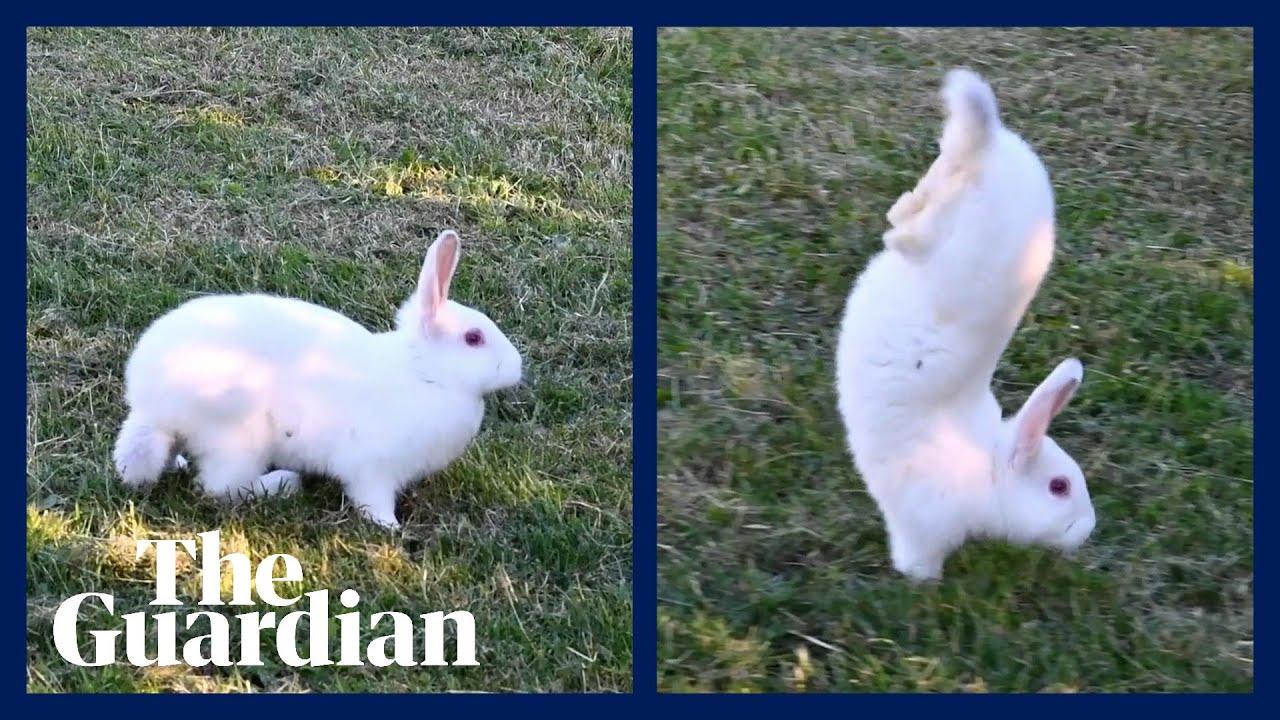 Ces lapins marchent sur leurs pattes avant. Des chercheurs viennent de  comprendre pourquoi | Slate.fr