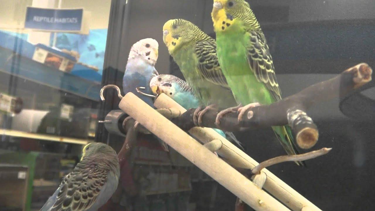 Petsmart Budgiesparakeets Youtube