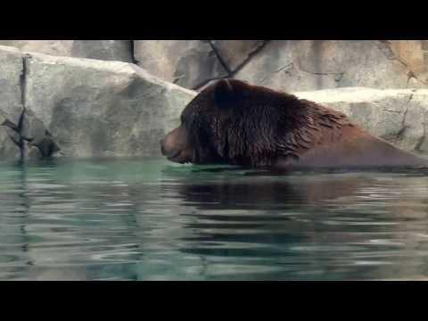 RARE footage - Brown Bear swimming underwater!