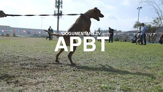 AMERICAN PITBULL TERRIER: BREED REVIEW Resimi