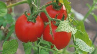 Посадка помидор в теплицу. Подробное описание.(Видео о том, как посадить помидору в теплицу. Урожай помидор зависит от многих факторов: в какие сроки посад..., 2016-04-29T05:42:06.000Z)