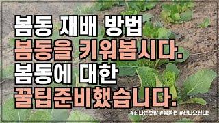 겨울에 심는 작물 중 1등, 봄동 재배 방법 및 파종시…
