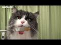 ラガマフィン猫コバン6歳の誕生日 Cutest Ragamuffin cat KOBAn 6th Birthday