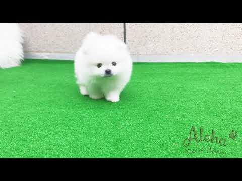 Teacup Pomeranian Puppies For Sale - Teddy