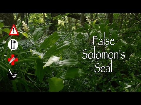False Solomon's Seal: Edible, Medicinal, Cautions & Other Uses