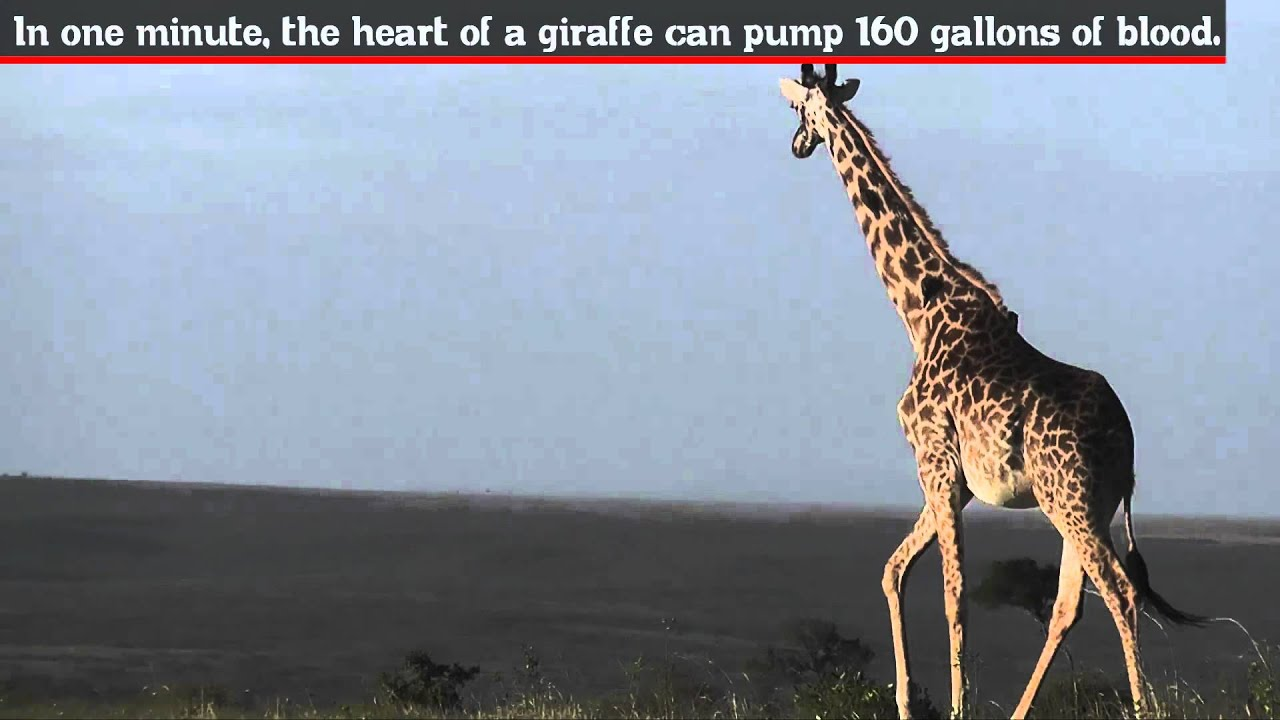 Fun Facts - Giraffe - YouTube