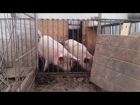 Как меня хотели кинуть мошенники при продаже мяса свинины