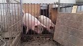 Закупаем свиные субпродукты. Фермер: артур акопян. Описание: закупаем свиные субпродукты: ноги свиные уши свиные хвосты свиные желудки свиные оптом и мелким оптом. В неограниченном количестве. Приглашаем к сотрудничеству производителей и поставщиков из рф и снг. Цена: по.