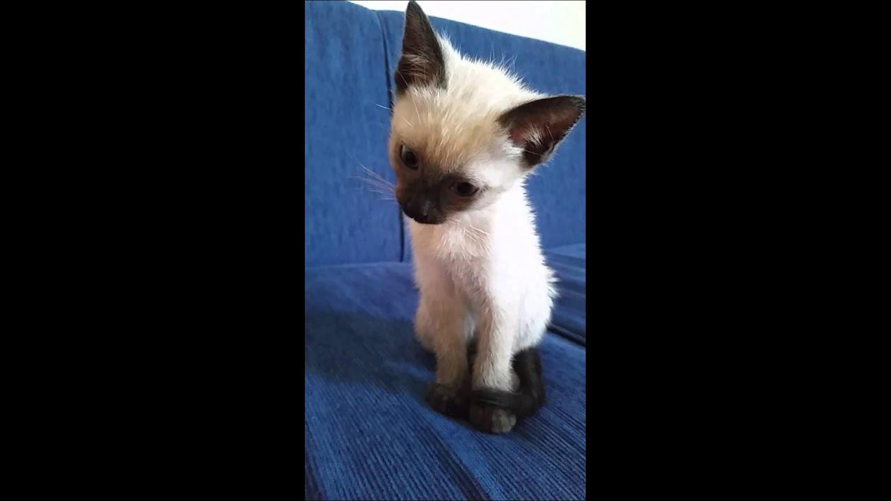Baby Siamkatze Miaut Youtube
