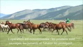 Mongolie - Capture des poulains - Voyage Vie Nomade - Par Rando Cheval Mongolie