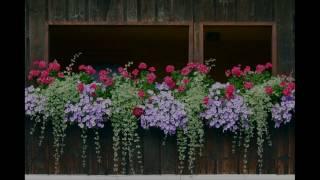 Những loài hoa dễ trồng ban công chịu nắng nở hoa quanh năm