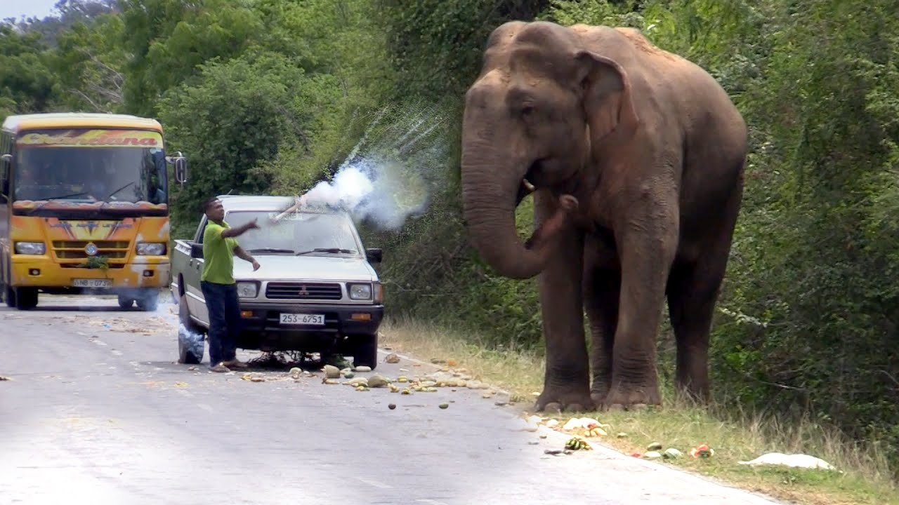 Wild elephant waiting for food by the passing vehicles.