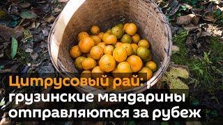 Цитрусовый рай  грузинские мандарины отправляются за рубеж