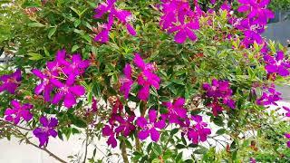 Osbeckia octandra Tree (Melastoma malabathricum)