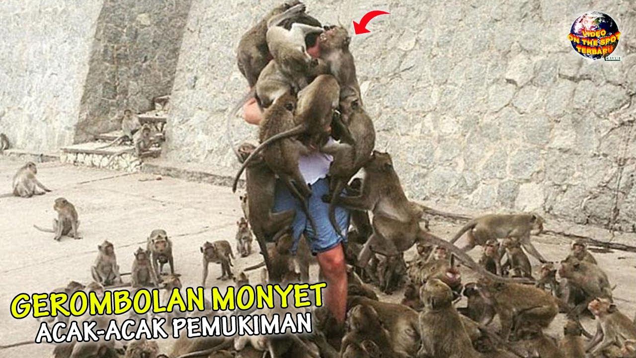 Akibat Digusur & Kelaparan, Kawanan Monyet Invasi Pemukiman Bikin Warga HEBOH!// Kejadian² Aneh 2021