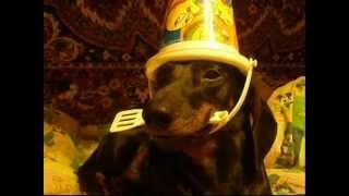 Собака такса Лорд(трюки)Lord dog.wmv