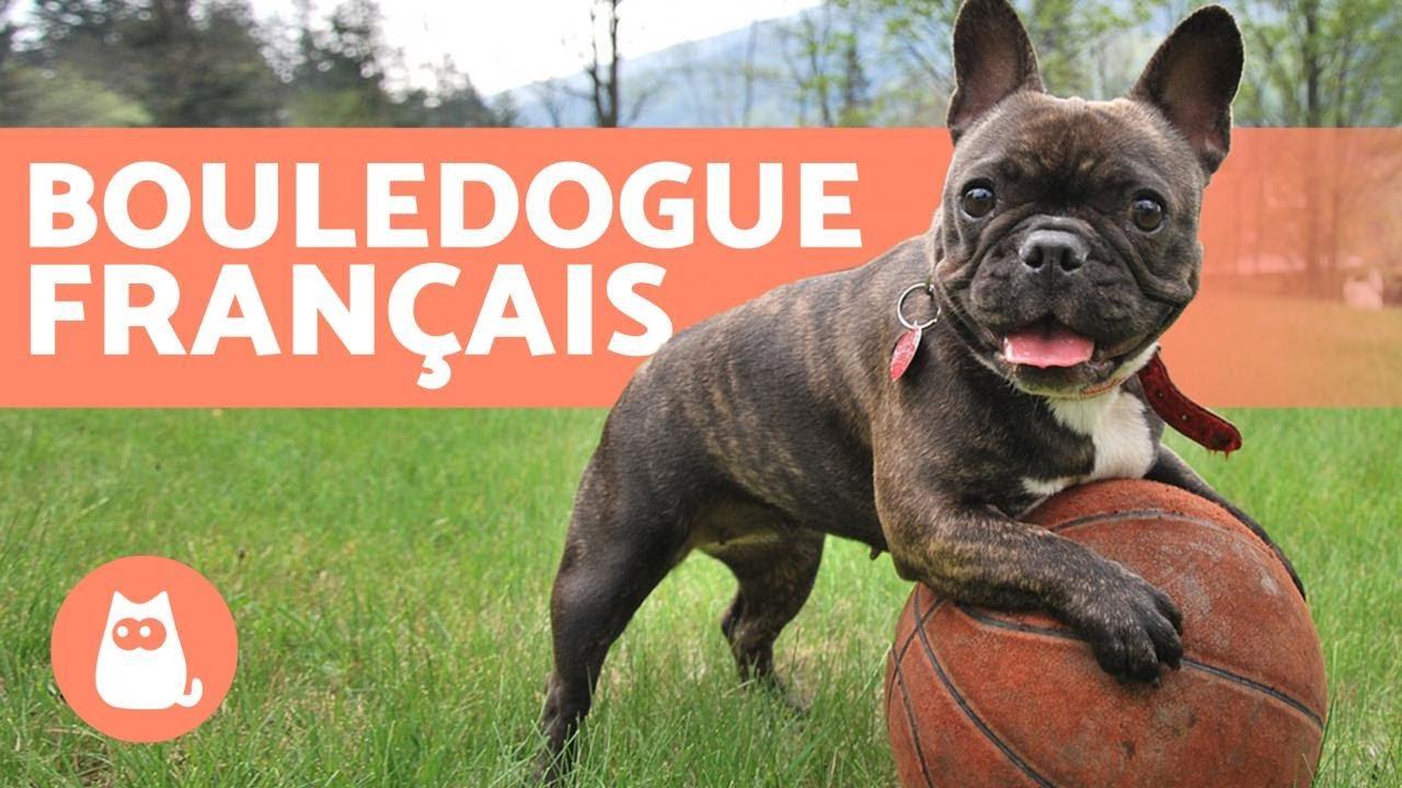 Bouledogue Francais Education Et Soins Youtube