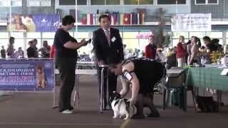 Papillon CACIB Minsk 31.05.2014   Junior dog