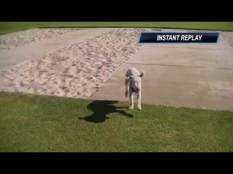 Harry the frisky Bedlington Terrier. (In Australia)