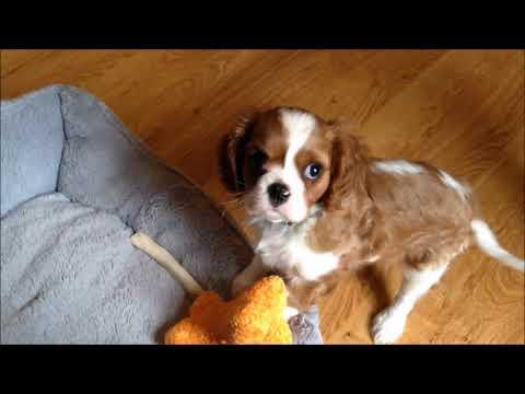 Meet Coda the baby Cavalier King Charles Spaniel
