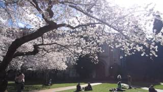 Nujabes Cherry Blossom Medley (UW Seattle)