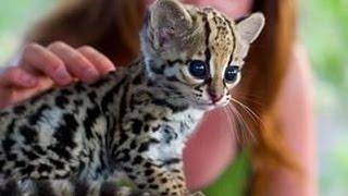 kükreyen tatlı leopar(komik hayvanlar)