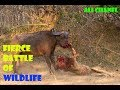 The war of the species of wild animals-Lion, Hyena and Jaguar