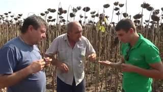 Жътва в Алтимир на слънчоглед, демо поле на Тимак Агро