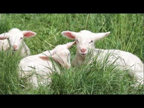 A lamb is born at Hope's Edge Farm